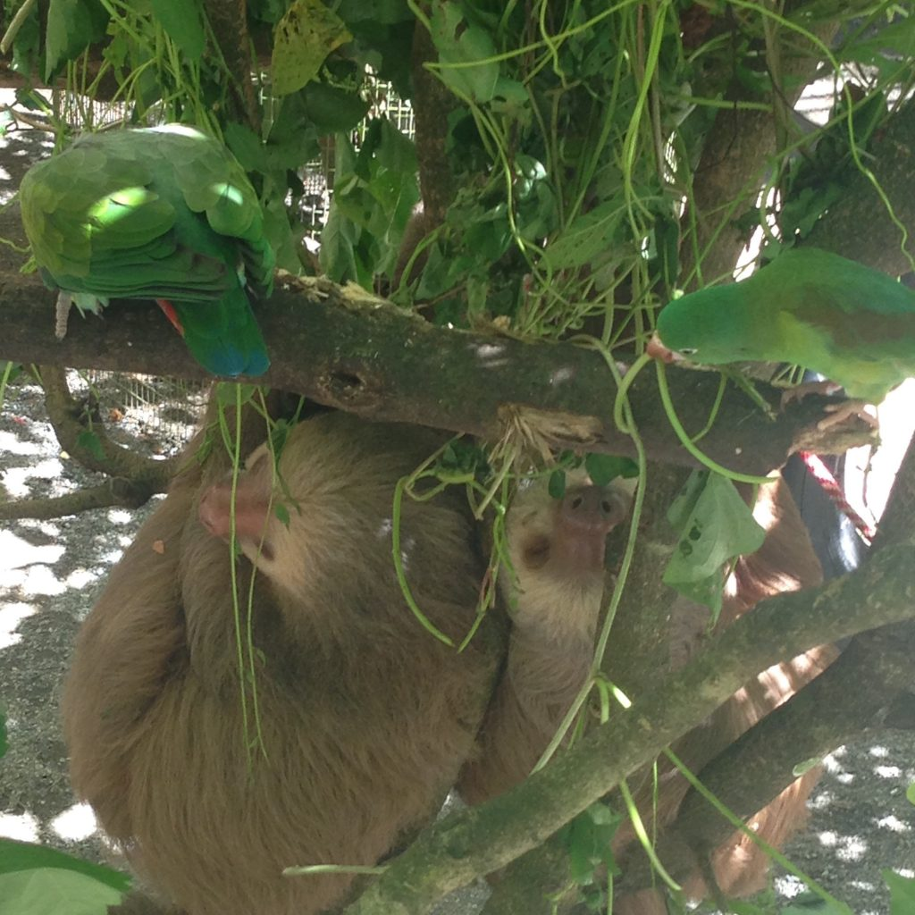 sloths_together_costa_rica