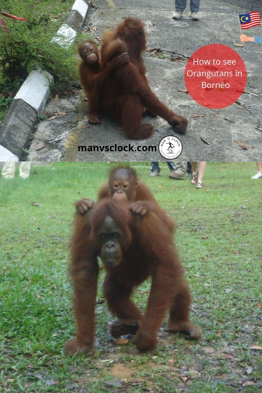 A mother and baby orangutan.
