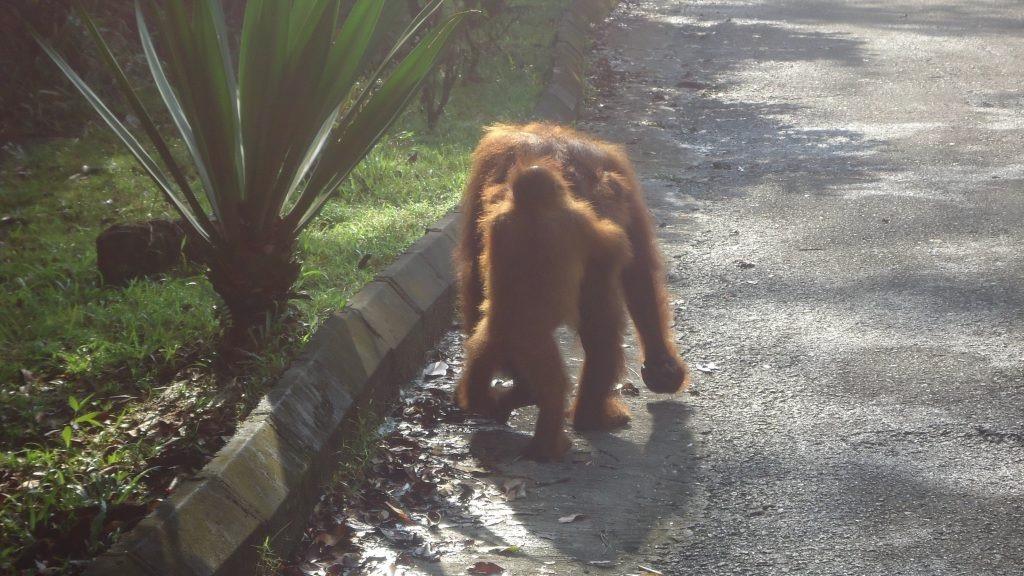 A baby orangutan walks behind it's mother.