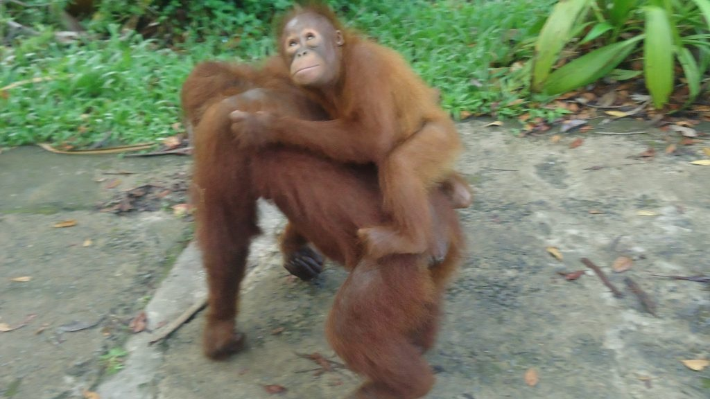 A cute baby orangutan takes a ride on its mother's back.