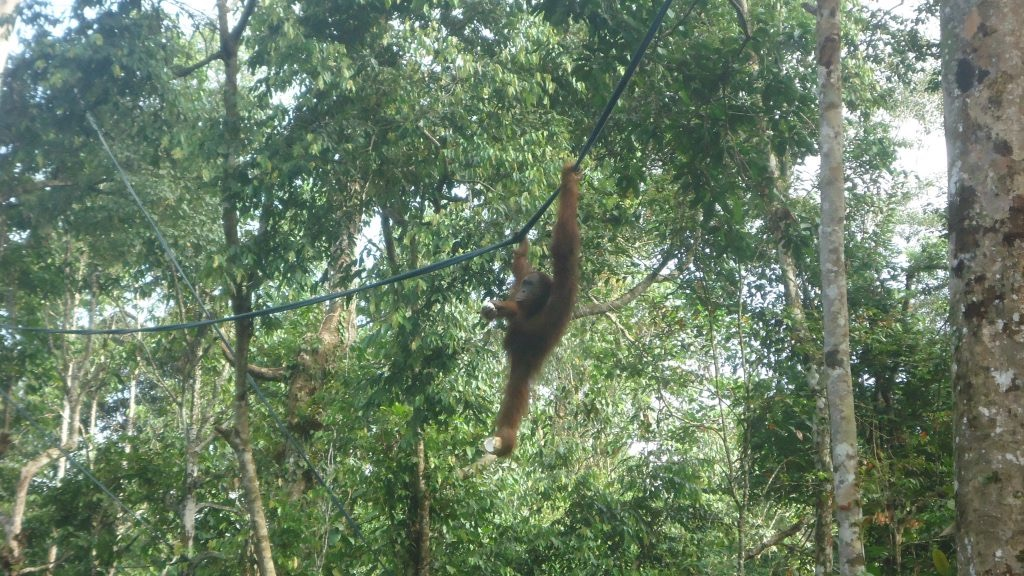 An orangutan swings from a tree rope with fruit gripped tightly in its feet.