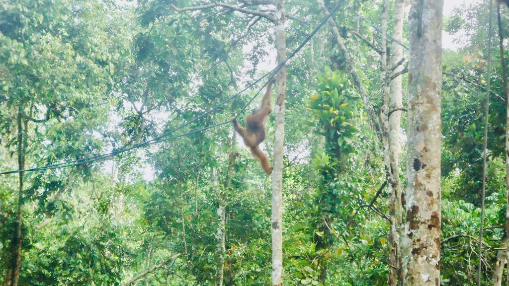 An orangutan swings from rope in the jungle.