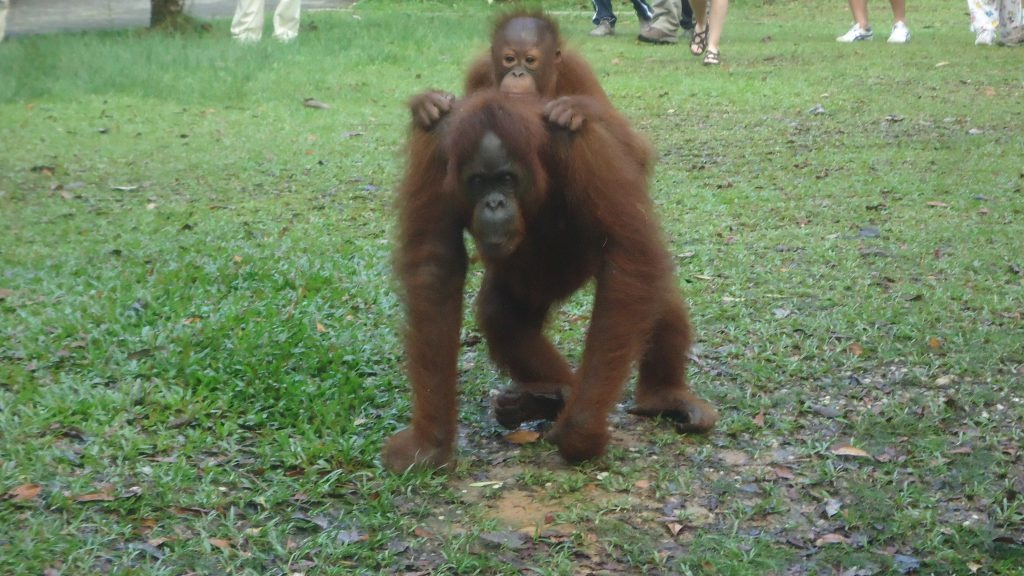 A baby orangutan rides on the back of her mother.