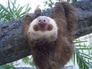 Sloth hangs upside down and smiles