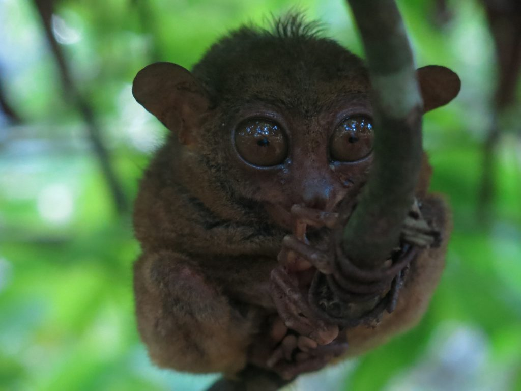 everything you need to know about the philippine tarsier