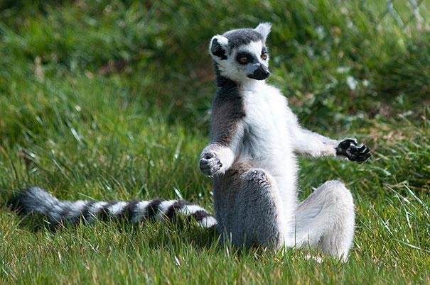 Funny Animals Doing Yoga 32